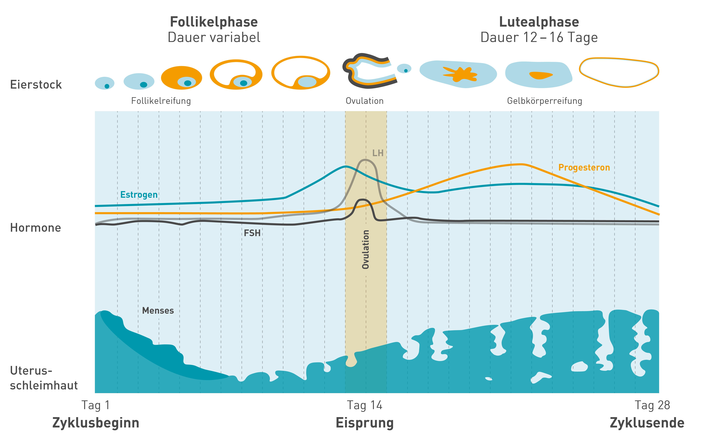 Der Ablauf des weiblichen Zyklus